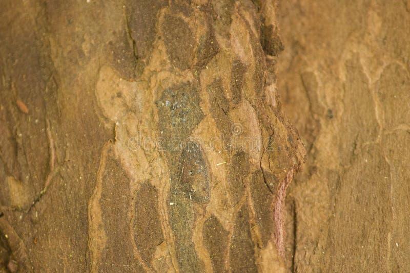 美国梧桐吠声,木纹理 免版税库存图片