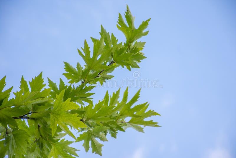 美国梧桐树叶子和蓝天 免版税库存图片