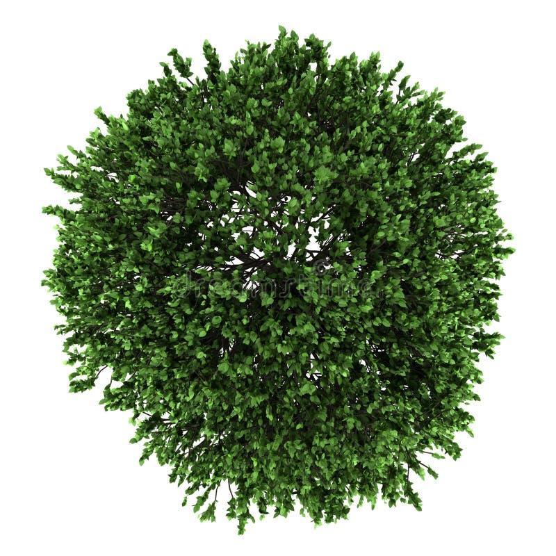美国榆结构树顶视图在白色查出的 向量例证