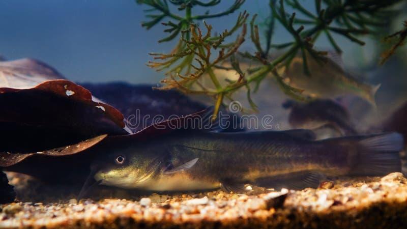 美国淡水捕食者河鲶在欧洲冷水河生物鱼中的入侵物种 免版税图库摄影