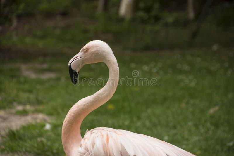 美国火鸟 美国火鸟Phoenicopterus ruber 库存图片