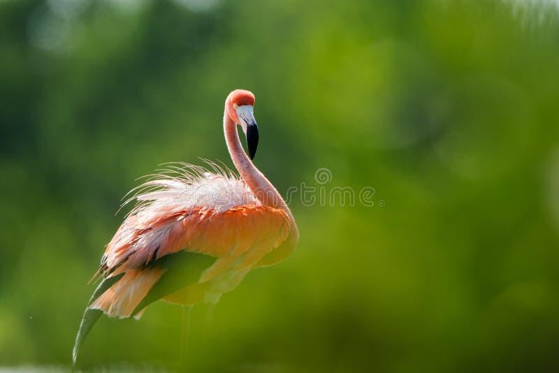 美国火鸟(Phoenicopterus ruber) 免版税图库摄影