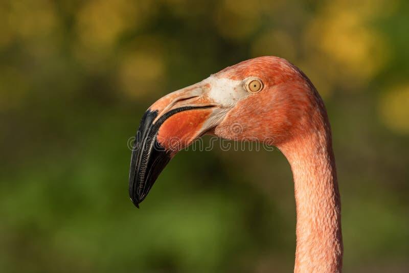 美国火鸟Phoenicopterus ruber的画象在自然栖所 免版税图库摄影