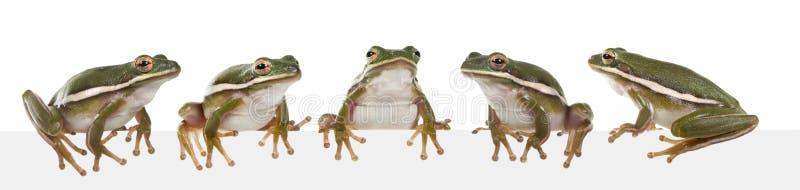 美国灰质的青蛙绿色雨蛙结构树 免版税库存照片