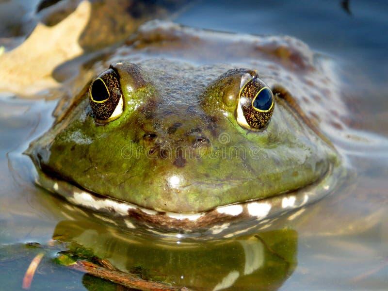 美国牛蛙微笑 免版税库存图片