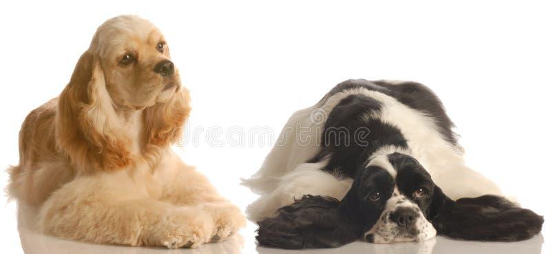 美国猎犬二 库存图片