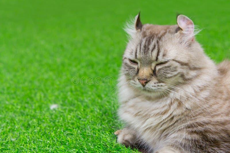 美国猫卷毛 免版税图库摄影