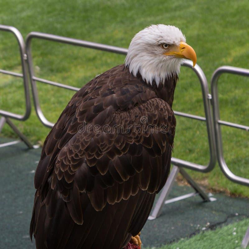 美国白头鹰的画象在足球场里面的 免版税库存照片