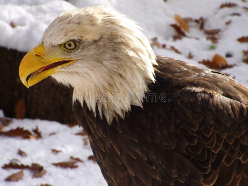 美国白头鹰纵向 免版税图库摄影