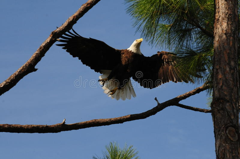 美国白头鹰飞行 免版税库存图片
