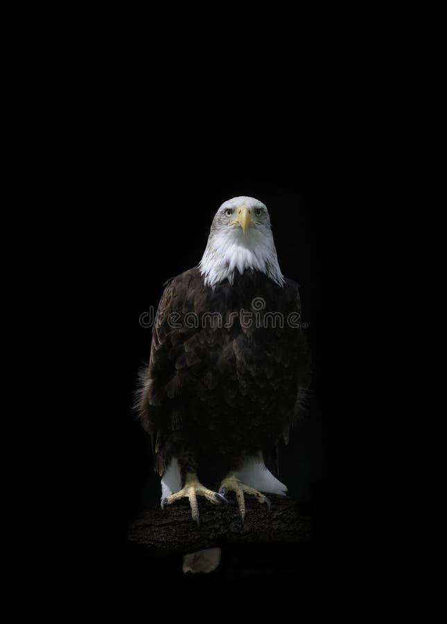 美国白头鹰hallaeetus leucocephalus 库存照片