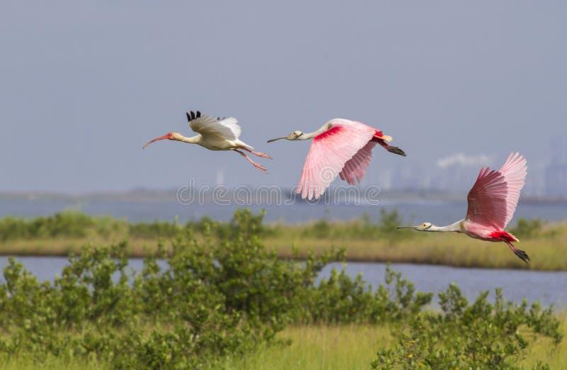 美国白色朱鹭(Eudocimus albus)和飞行在沼泽的粉红琵鹭(Platalea ajaja) 免版税库存图片