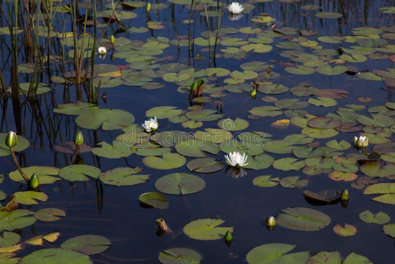 美国白色waterlilies开花自然和狂放在与芦苇和睡莲叶的黑反射性水中 库存照片