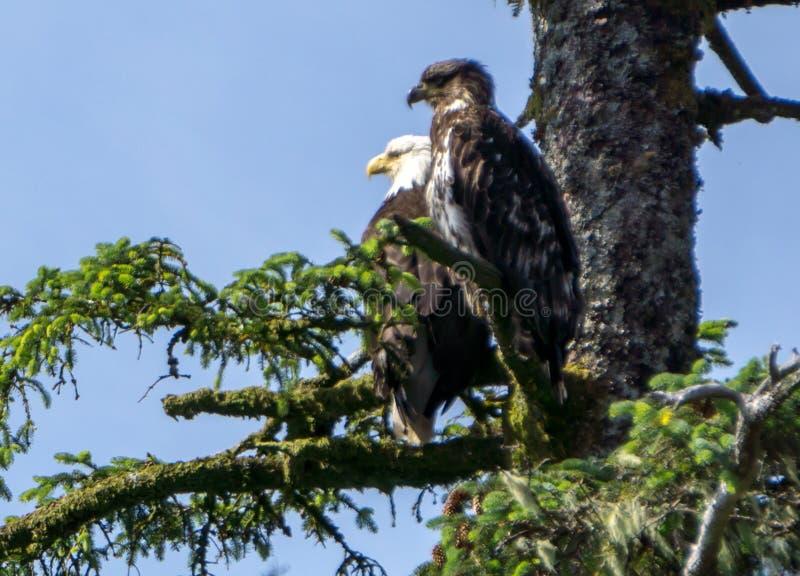 美国白头鹰和它的婴孩坐树枝 库存图片