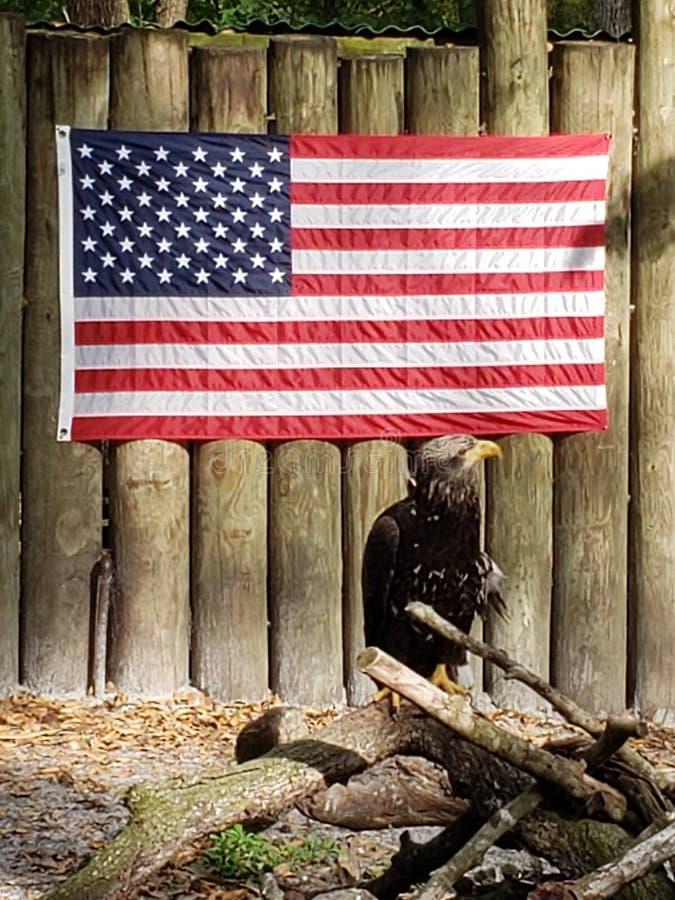 美国的美国骄傲的老鹰 免版税库存照片