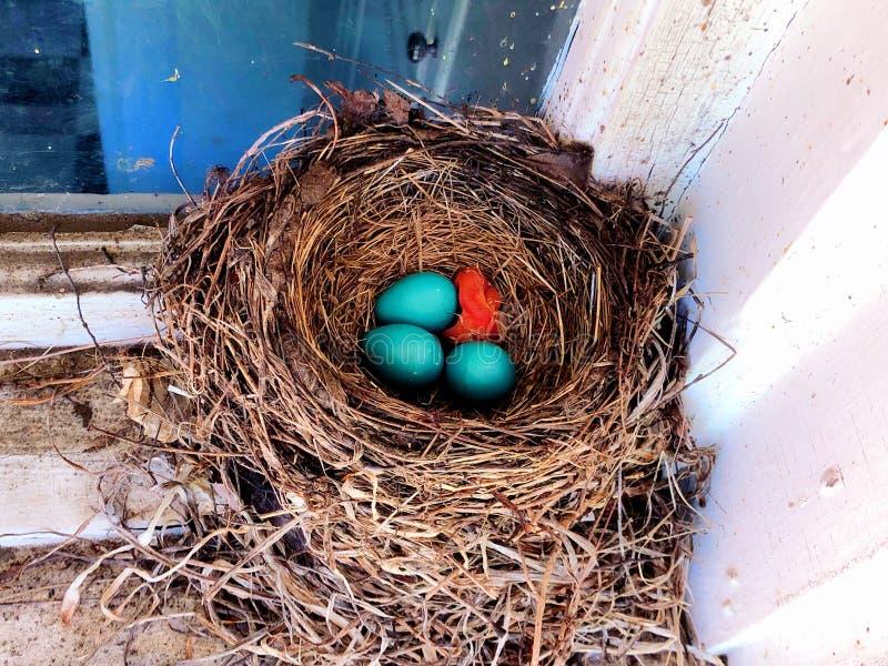 美国知更鸟新出生的婴孩巢孵化了 免版税库存照片