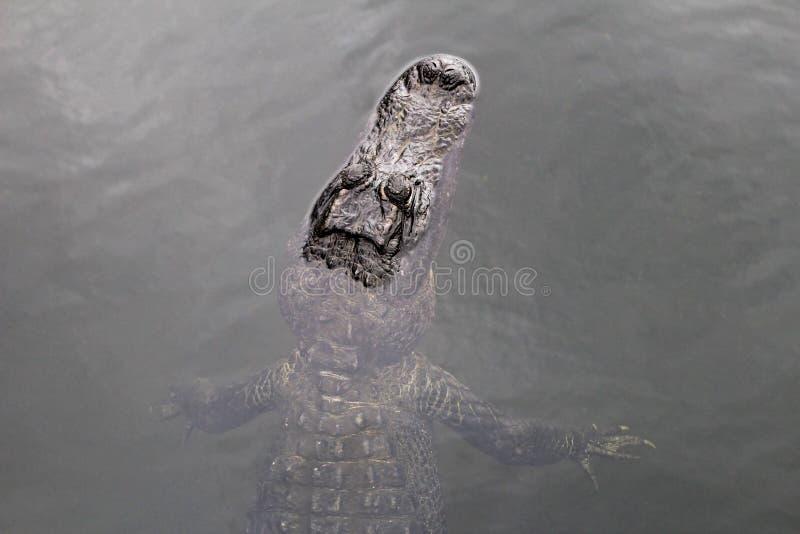 美国短吻鳄游泳在湖,顶视图,大沼泽地国家公园,佛罗里达,美国 免版税库存照片