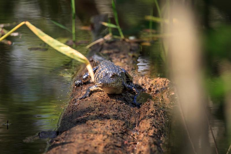 美国短吻鳄鳄鱼mississippiensis 免版税图库摄影