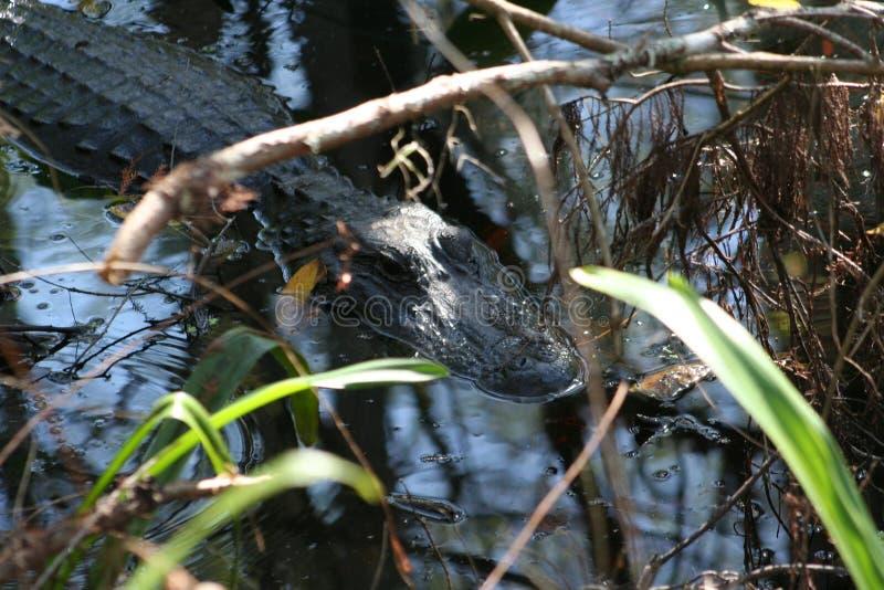 美国短吻鳄鳄鱼mississipiensis; 库存图片