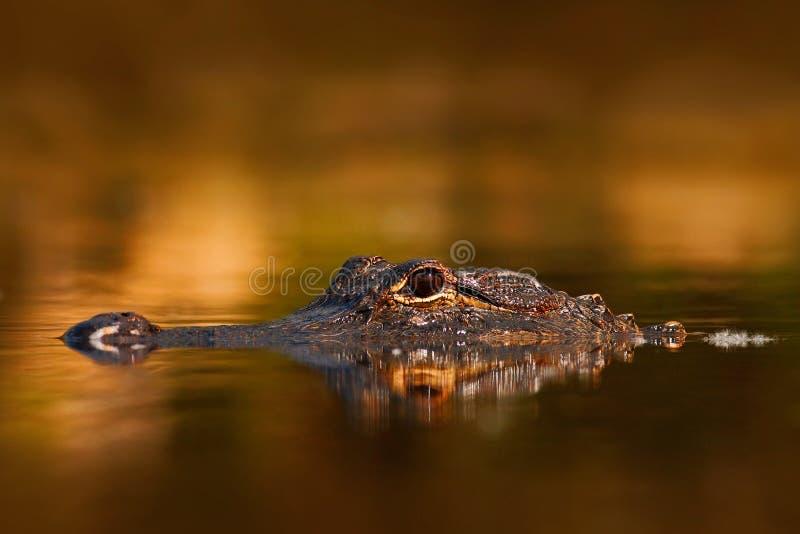 美国短吻鳄,鳄鱼mississippiensis, NP沼泽地,佛罗里达,美国 鳄鱼在水中 鳄鱼顶头水面上的su 免版税图库摄影