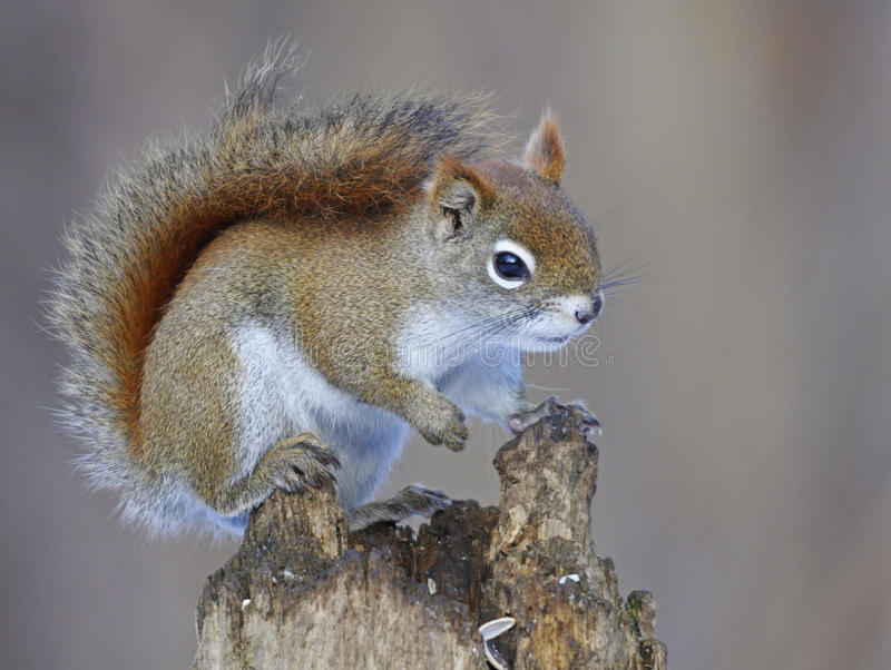 美国红松鼠 库存照片
