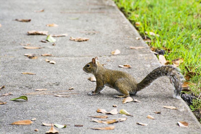 美国红松鼠 库存图片