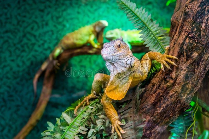 美国绿色鬣鳞蜥的美丽的特写镜头画象在树的,从美国的热带蜥蜴硬币,普遍的异乎寻常的宠物 库存照片