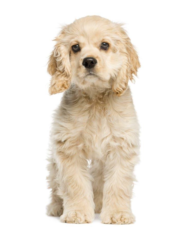 美国美卡犬小狗开会和凝视 免版税库存图片