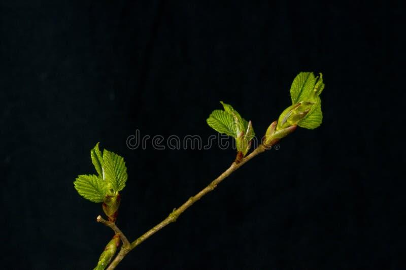 美国美国榆木小叶榆树 免版税库存图片