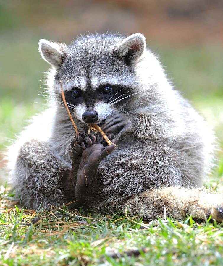 美国美洲野猫爱达荷nat北部公园黄石 免版税库存图片