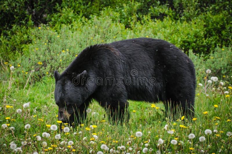 美国美洲的熊黑色熊属类 库存照片