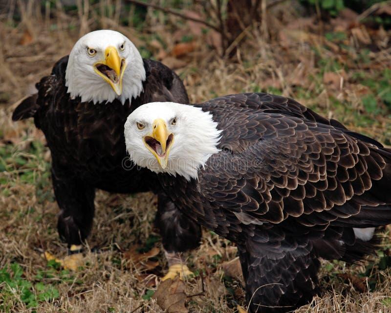 美国老鹰对 免版税库存照片
