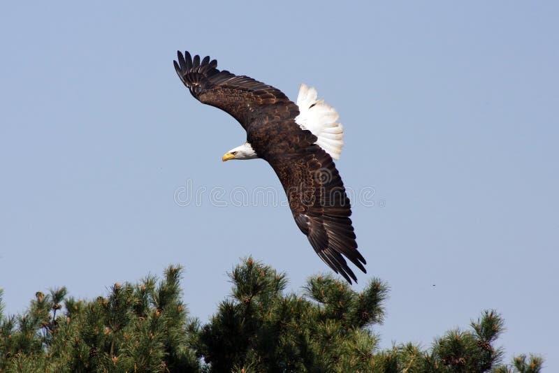美国老鹰海运 免版税库存照片