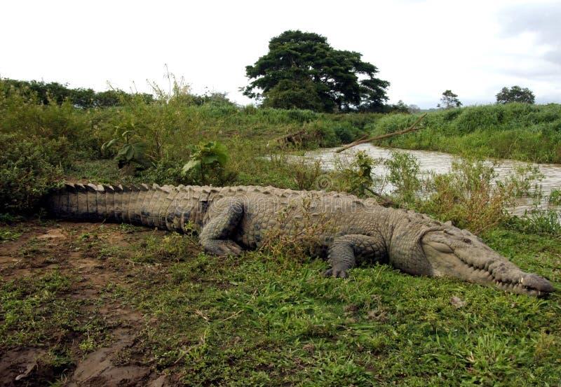 美国肋前缘鳄鱼巨大的rica河tarcoles 库存图片