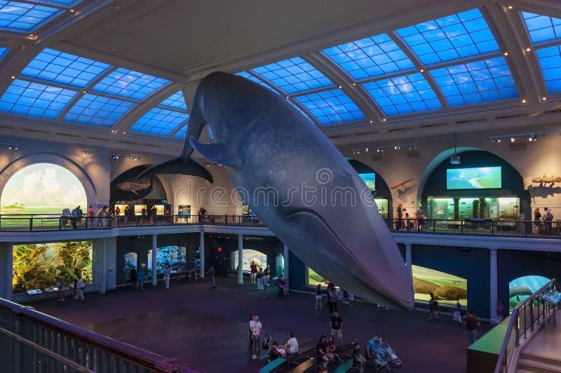 美国自然历史博物馆的人们,看蓝鲸模型,在纽约 免版税库存图片