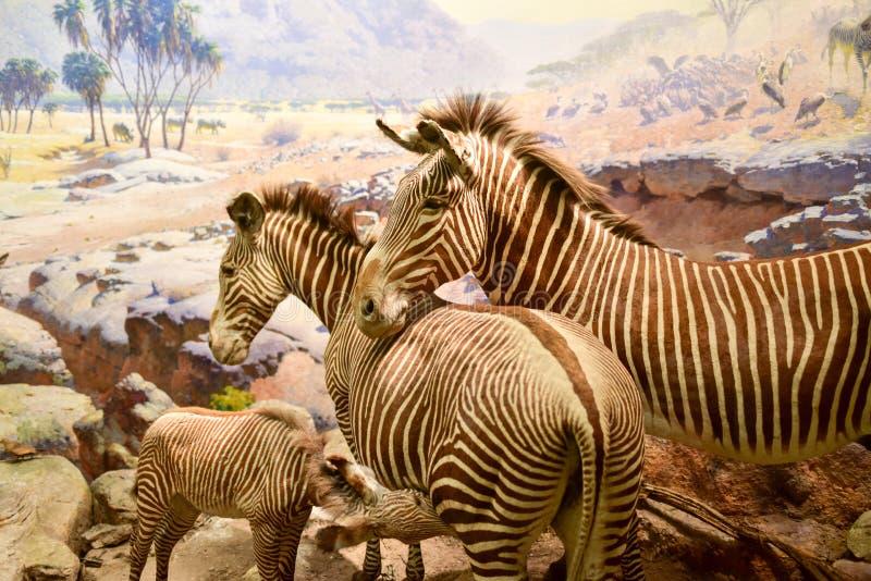 美国自然历史博物馆-纽约 免版税图库摄影