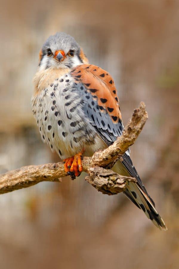 美国茶隼游隼科sparverius,坐树桩,小的鸷坐树干,墨西哥 在的鸟 免版税库存照片