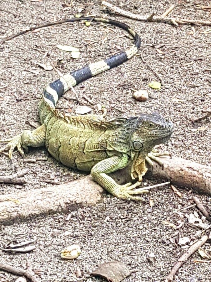 美国蜥蜴 免版税库存图片