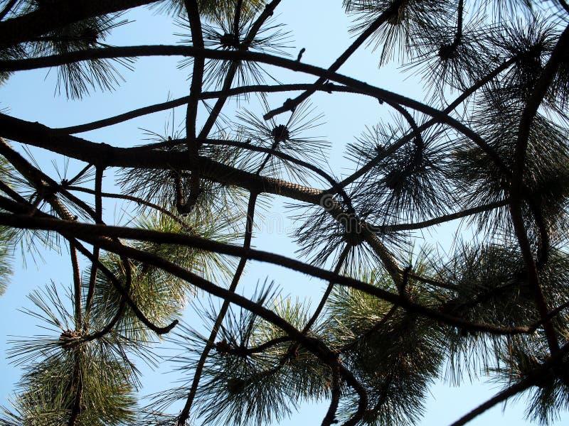 美国西部白松或松属Monticola 免版税库存图片