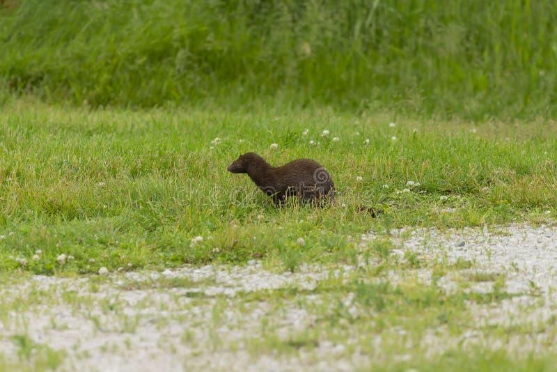 美国貂皮在狩猎的Neovison vison 免版税库存照片