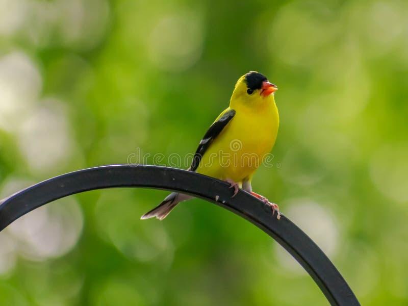 美国金翅雀-北美洲鸟 库存图片
