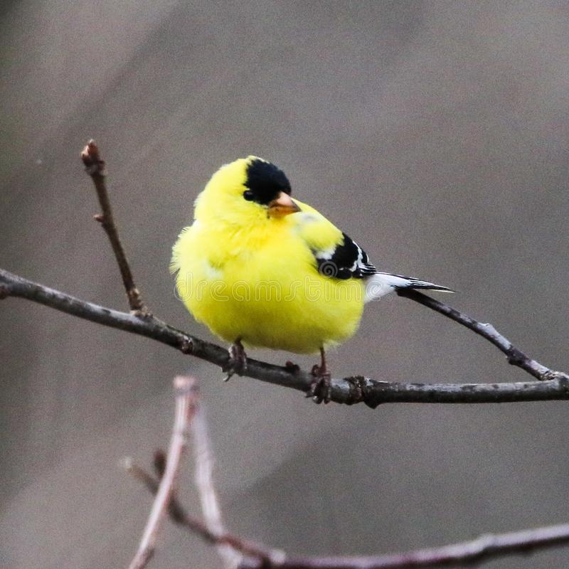 美国金翅雀& x28; 男性, breeding& x29; 免版税图库摄影