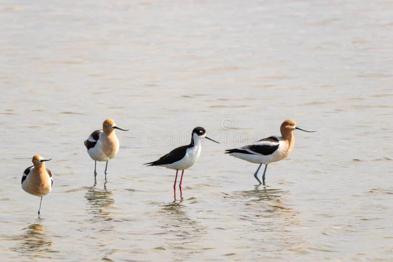 美国长嘴上弯的长脚鸟和黑收缩的高跷 库存照片