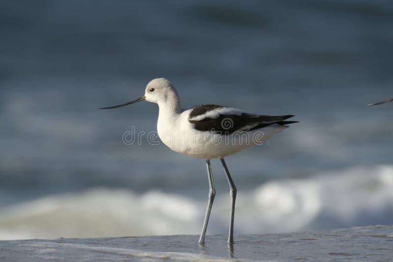 美国长嘴上弯的长脚鸟海滩 库存照片