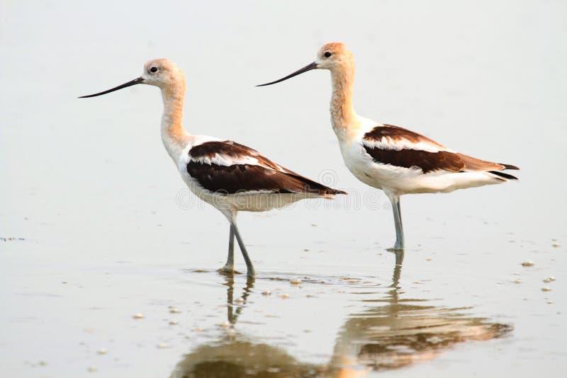 美国长嘴上弯的长脚鸟(美国的Recurvirostra) 免版税库存图片