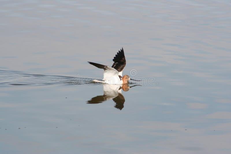 美国长嘴上弯的长脚鸟(美国的Recurvirostra) 免版税库存照片