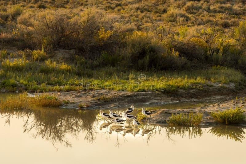 美国长嘴上弯的长脚鸟Recurvirostra美国在Sandwash盆地,科罗拉多 免版税库存图片