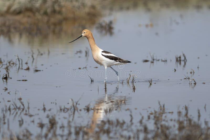 美国长嘴上弯的长脚鸟Recurvirostra走在浅蔓延的水中的美国 库存图片