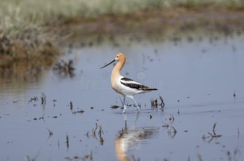 美国长嘴上弯的长脚鸟Recurvirostra走在浅蔓延的水中的美国 免版税库存照片