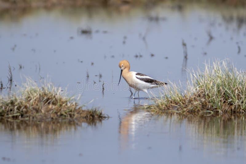 美国长嘴上弯的长脚鸟Recurvirostra走在浅蔓延的水中的美国 免版税库存图片